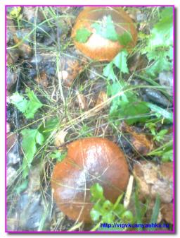 Маслята в лесу
